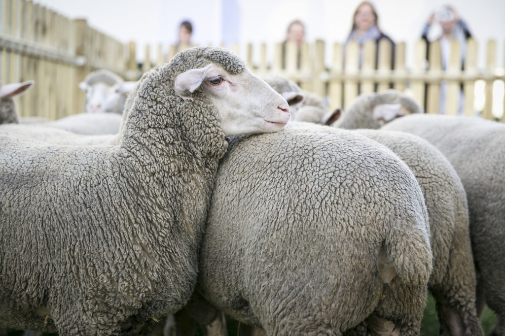 Schafe für Merinowolle